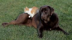 Orange cat with a brown labrador Stock Footage