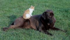 Little cat with a brown labrador Stock Footage
