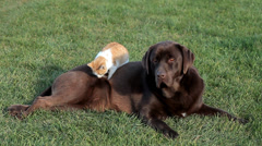 Brown labrador with a little orange cat Stock Footage