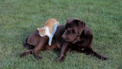 Cat with a brown labrador Stock Footage