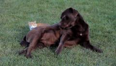 Little orange cat with a brown labrador on grass Stock Footage