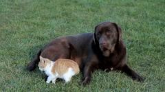 Little cat with a brown labrador on grass Stock Footage