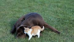 Little orange cat with a labrador on grass Stock Footage