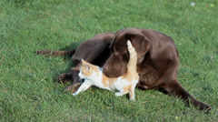 Little  cat with a labrador on grass Stock Footage