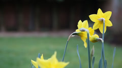 Daffodils in garden Stock Footage