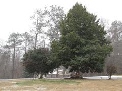 Holly Tree - stock photo