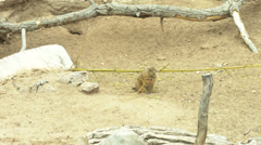 Prairie dog eating Stock Footage