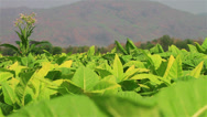 Stock Video Footage of Tobacco