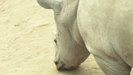 Stock Video Footage of young rhinoceros