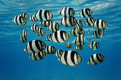 Shoal of tropical fish banded butterflyfish Stock Photos