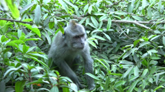 Long-tailed macaque on top of Mount Batur - stock footage