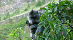 Long-tailed macaque with baby on top of Mount Batur - stock footage