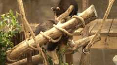 tree-kangaroo eating - stock footage