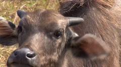 Domestic Asian water buffalo - Bubalus bubalis - 10 Stock Footage
