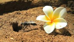 A black hornet wasp digging in the ground Stock Footage