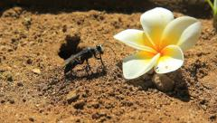 A nice shot of a busy black digger wasp taking sand out a hole  Stock Footage