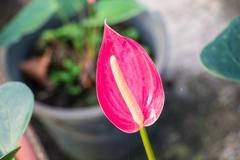 flamingo lily - stock photo