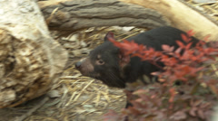 Tasmanian devil on a log Stock Footage
