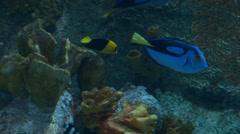 Bicolor angelfish swimming Stock Footage