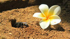 A Black hornet wasp clearing ground to build a nest Stock Footage