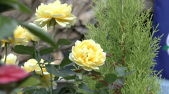 A few full bloomed yellow color UK roses. Stock Footage