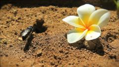A busy hornet clearing sand from it's frangipani nest Stock Footage