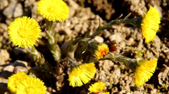 Yellow coltsfoot Stock Footage