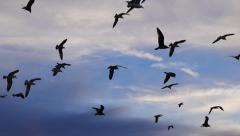 Stock Video Footage of Flock of seagull birds flying in air over beautiful sky background. Slow motion.