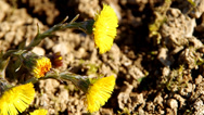 Stock Video Footage of Yellow coltsfoot