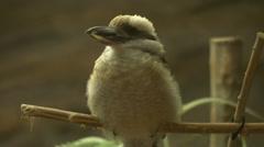 Kookaburra bird sitting on a branch Stock Footage