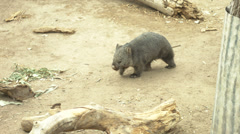 Tasmanian wombat walking Stock Footage