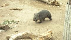tasmanian wombat walking - stock footage