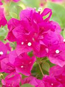 image of bright pink bougainvillea - stock photo