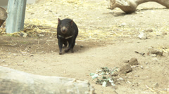 Tasmanian devil smelling Stock Footage