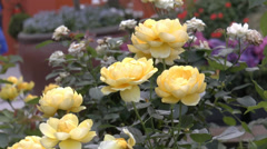 A group of yellow color UK roses in full bloom. Stock Footage