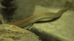 Stock Video Footage of coastal taipan snake slithering