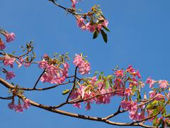 Pink tabebuia tree against the blue sky. Stock Photos