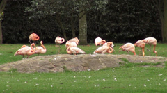 Flamingos, Pink, Wading Birds, Wildlife, Animals, Nature Stock Footage