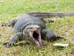 Closeup of monitor lizard - varanus on green grass focus on the varanus eye. Stock Photos
