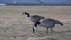 Geese Grazing in Grass - stock footage