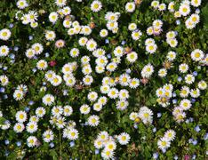 Great meadow of daisies just beginning Stock Photos