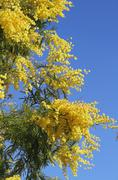 Yellow fragrant mimosa flower Stock Photos