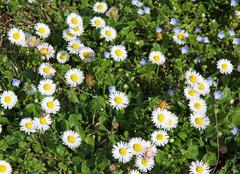 daisies in the middle of the green lawn in spring - stock photo