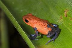 Poison Frog - stock photo