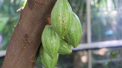 Stock Video Footage of Cacao Pods on Tree