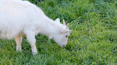 Goat Nibbling Grass Stock Footage