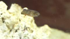 Dwarf cuttlefish swimming Stock Footage