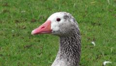 Geese, Birds, Animals, Nature, Wildlife Stock Footage