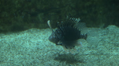 Lionfish swimming Stock Footage