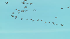 Snow geese flying v Stock Footage